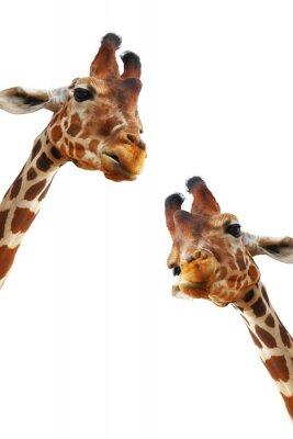 Posters Couple de girafes closeup portrait isolé sur fond blanc