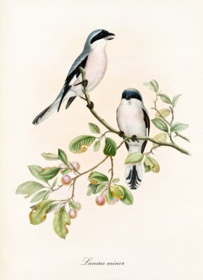 Posters Couple of white and bluish birds on a single isolated branch rich of leaves and berries. Old colorful illustration of Lesser Grey Shrike (Lanius minor). By John Gould publ. In London 1862 - 1873