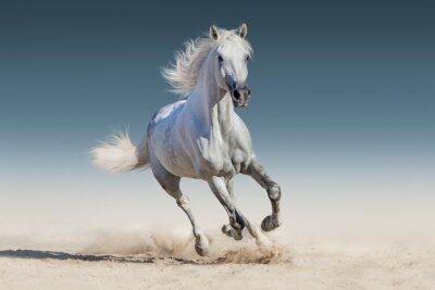 Posters Course de chevaux blancs galop