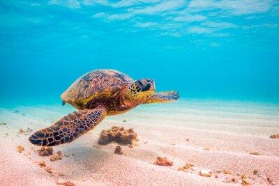 Posters Croisières de la tortue vertébrale hawaïenne en voie de disparition dans les eaux chaudes de l'océan Pacifique à Hawaii