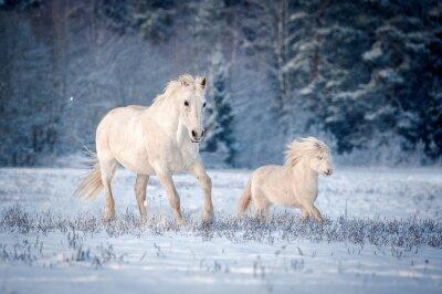 Posters Deux, blanc, Chevaux, courant, champ, hiver
