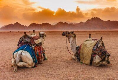 Posters Deux chameaux se trouvent dans le désert du Sinaï, à Charm el-Cheikh, dans la péninsule du Sinaï, en Égypte. Orange beau coucher de soleil au-dessus des montagnes