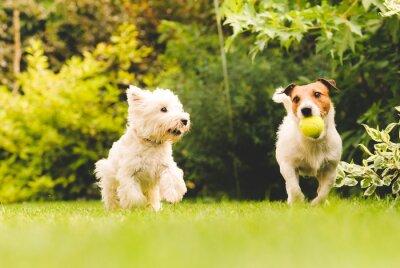 Posters Deux chiens qui jouent avec un ballon.