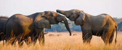 Posters Deux éléphants jouant les uns avec les autres. Zambie. Parc national du Bas-Zambèze. Zambèze. Une excellente illustration.
