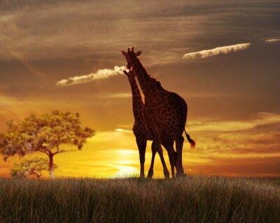 Posters Deux girafes au coucher du soleil