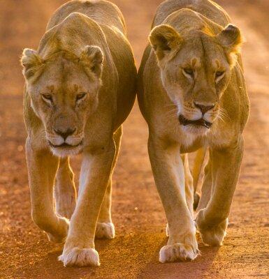 Posters Deux lionnes marchant sur la route dans le parc national. Kenya. Tanzanie. Maasai Mara. Serengeti. Une excellente illustration.
