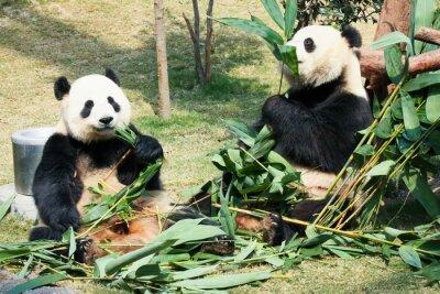 Posters Deux, pandas, manger, bambou