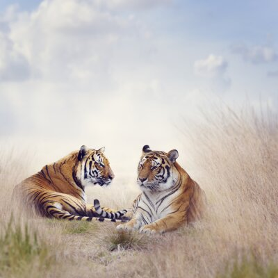 Posters Deux tigres