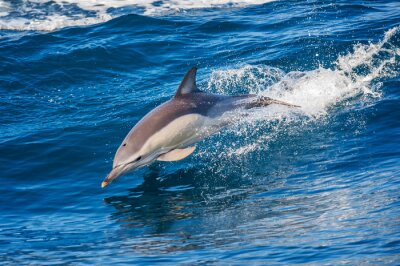 Posters Dolphin, Sauter, dehors, mer