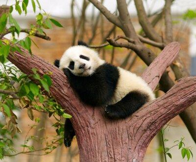 Posters Dormir bébé panda géant