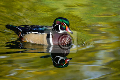 Posters Drake Wood Duck Reflection