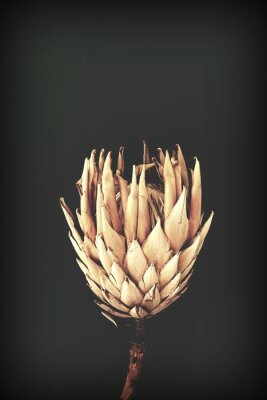 Posters dried exotic flowers Protea on black background closeup vintage toned. poster