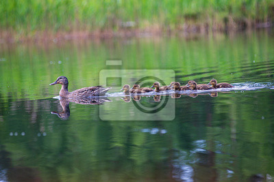 Posters duck mama with ducklings swimming in lake in formation
