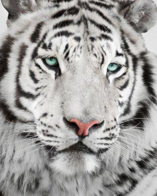 Posters Élégant, blanc, tigre, portrait