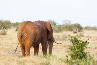 Posters Éléphant africain rouge au Kenya