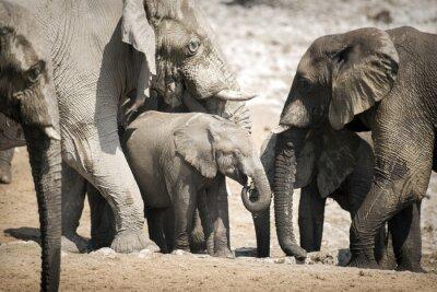 Posters Éléphant dans le parc national d'Etosha.