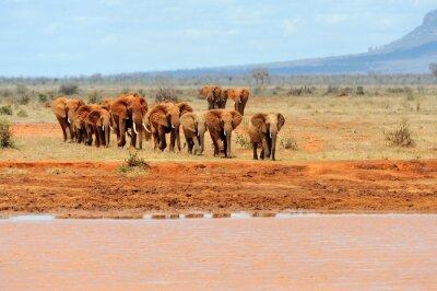 Posters Éléphant dans le parc national du Kenya