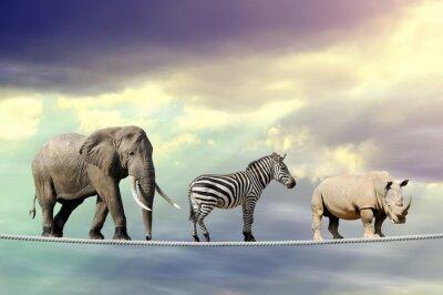 Posters Éléphant, zèbre, rhinocéros, marche, corde