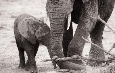 Posters Éléphanteau africaine