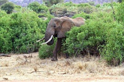 Posters Éléphants africains dans la savane