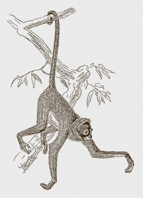 Posters Endangered white-bellied spider monkey (ateles belzebuth) hanging with its tail at a branch. Illustration after an engraving from the 19th century