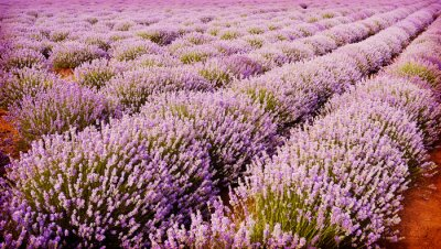 Posters Field of lavender flowers
