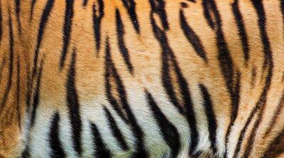 Posters Fin, haut, tigre, peau, texture