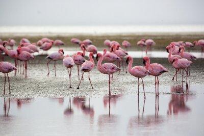 Posters Flamants roses à Wallis Bay, Namibie, Afrique