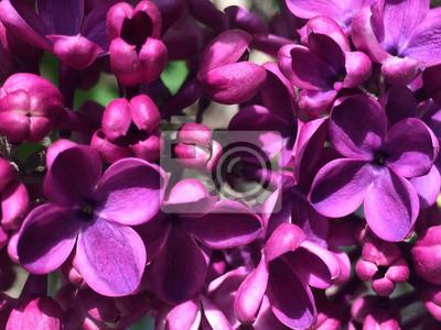 Fleur Lilas Floral Fleur Nature Saison Fond Pourpre Petale