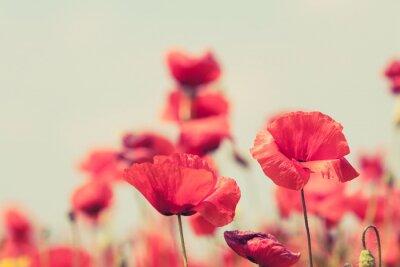Posters Fleurs de pavot rétro pacifique fond d'été