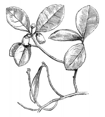 Posters Flowering Branch of Gaultheria Procumbens (Creeping Wintergreen) vintage illustration.