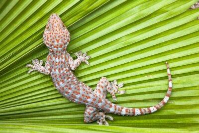 Posters Gecko tacheté sur une paume verte de feuille.