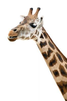 Posters Girafe