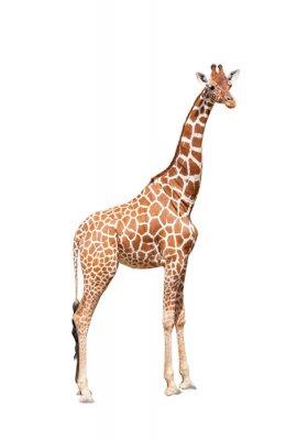 Posters Girafe à l'extrême. Il est isolé sur le blanc