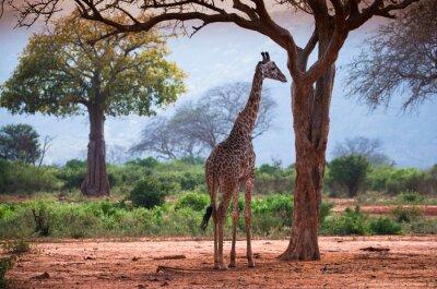 Posters Girafe, baobab, arbre