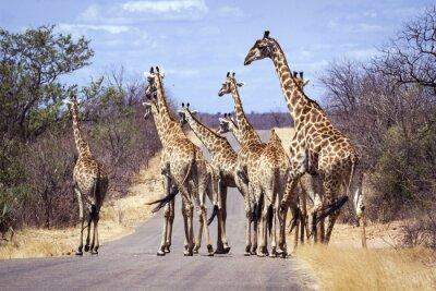 Posters Girafe dans le parc national Kruger