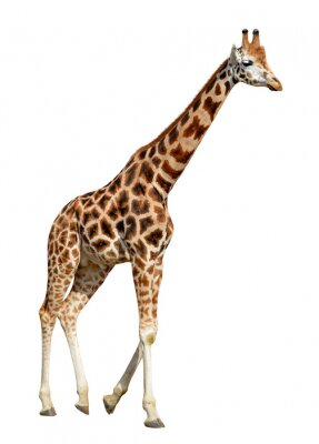 Posters girafe isolé sur fond blanc