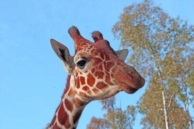 Posters Girafe photo