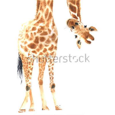 Posters Girafe réaliste réalisée à l'aquarelle. Fermer. Illustration dessinée à la main