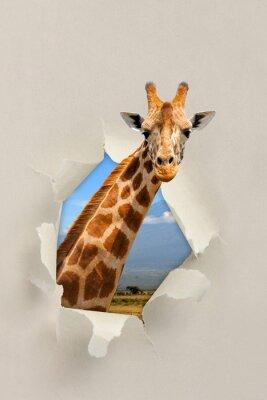 Posters Girafe, regarder, travers, trou, déchiré, papier