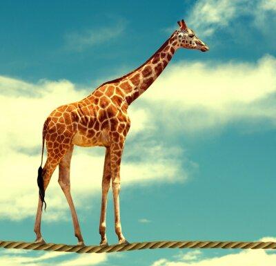 Posters Girafe sur corde