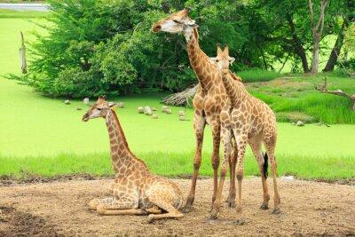 Posters girafes