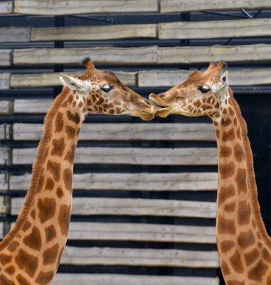 Posters Girafes, baiser