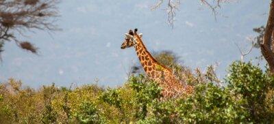 Posters Giraffe à Tsavo East National Park