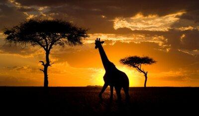 Posters Giraffe at sunset in the savannah. Kenya.