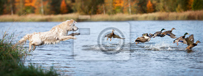 Posters golden retriever dog jumping into water hunting ducks