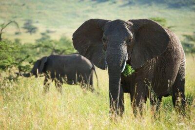 Posters Grand, africaine, éléphant, serengeti, national, Parc