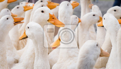 Posters Grand groupe de canards blancs.