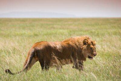 Posters Grand, jeune, lion, dans, Serengeti, national, Parc