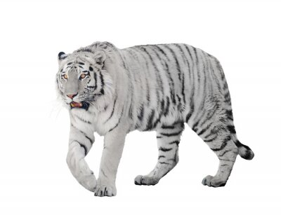 Posters grand tigre albinos isolé sur blanc